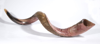 Yeminite Large shofar